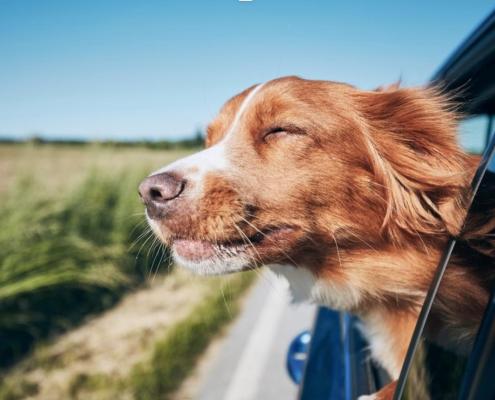 Hund i bil, reiser til utlandet
