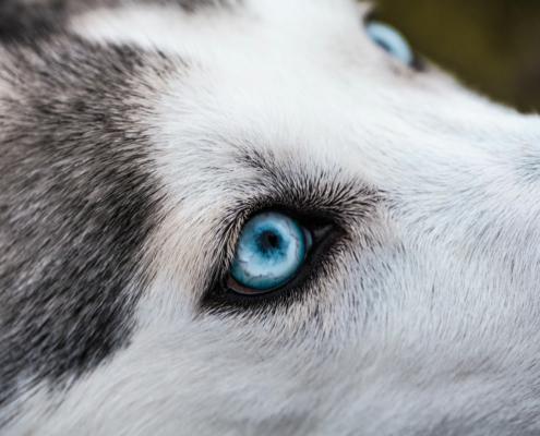 Øyelysing av hund