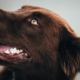 hund, friske tenner